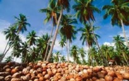 Petani Kelapa Minsel Rugi Rp182 juta per Bulan