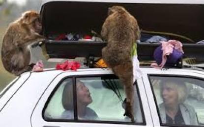 Monyet-Monyet Ini Bongkar Muatan Pengunjung