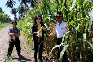 Bupati DR (HC) Christiany Eugenia Paruntu, SE saat memetik jagung yang siap dipanen. (foto Humas Minsel)